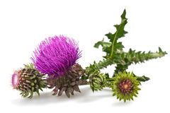Thistles. Flower and bud on white royalty free stock photos