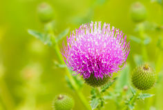 Thistles flower in the green fields. Stock Image