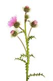Thistles. Flower isolated on white royalty free stock photography