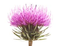 Thistles. Flower isolated on white royalty free stock photos