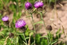 Thistles. The flower of Scotland, thistles in bloom along the shoreline. Purple color. Blurred background stock images