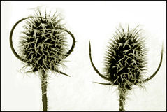 Thistles Stock Photography