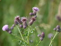 Thistle blowing in the wind. Thistles in full bloom in the summer Stock Images