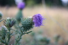 Thistles. Group of thistles on the left, blurred background stock photo