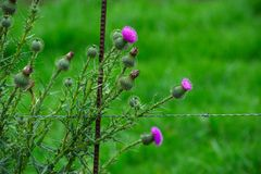 Thistles growing against a fence. Many Thistles growing against a fence Royalty Free Stock Photography