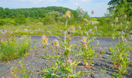 Thistles growing on a dike in summer. In sunlight Royalty Free Stock Photos