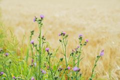 Thistles growing in meadows along with cereal, rural landscapes Royalty Free Stock Photography