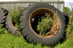 Thistles growing in old tractor tires. Blooming thistles are growing out of old tractor tires piled up against a weathered wood fence Stock Photography