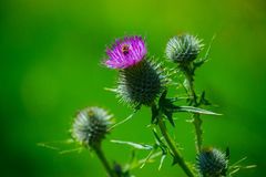 Thistles with hoverfly Royalty Free Stock Image
