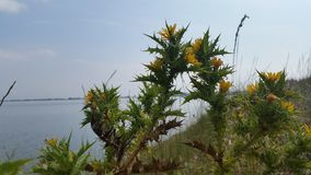 Thistles at the lake. Thistles with yellow flower royalty free stock photo
