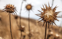 Thistles on the Lost Coast, California, USA. Closeup of plant on a dry hill above the Pacific ocean Royalty Free Stock Photo