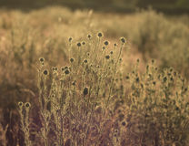 Thistles in a meadow at sunset Royalty Free Stock Photos