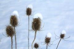 Thistles na neve imagem de stock