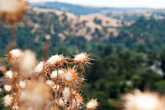 Thistles. Overlooking the Bay Area hills royalty free stock photography