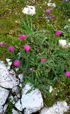 Thistles plant. A flowering Thistles plant in alpine grass Royalty Free Stock Photography