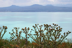 Thistles on Sevan lake, Armenia Royalty Free Stock Images