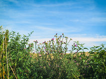 Thistles and Sky. Green foreground with large sky background to place text Royalty Free Stock Photos