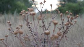 Thistles at sunset. Prickly needles and beautiful bokeh stock video footage