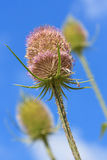 Thistles Royalty Free Stock Image
