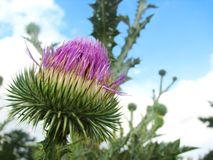 Thistles Thorny wildflower Stock Photo