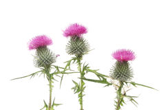 Thistles Stock Images