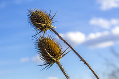 Thistles under blue sky Royalty Free Stock Photography