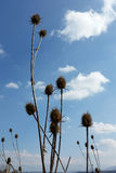 Thistles, village and blue sky. Thistles on a field near the village under blue sky Royalty Free Stock Image