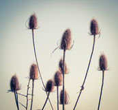 Thistles. Wild thistles growing in nature royalty free stock images