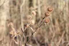 Thistles in winter. Beautiful thistles in the brown landscape on a sunny winter day stock photo