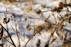 Thistles. Winter in Russia.Dry thistles bur covered with snow stock photos
