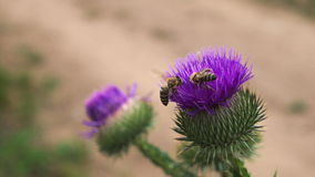 THISTLY AND TWO BEES stock photo