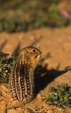 Thiteen alinhou o esquilo à terra Imagens de Stock