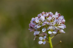 Thlaspi caerulescens, Alpine Penny-cress. One of the first springtime flowers in Finland Stock Photography