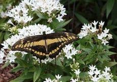 Thoas (国王的)蝴蝶 库存照片