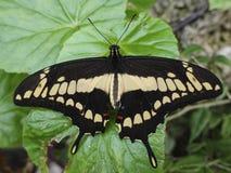 Thoas do rei Swallowtail Papilio foto de stock