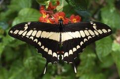 Thoas do rei Swallowtail Papilio fotografia de stock
