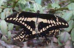 Thoas do rei Swallowtail Papilio fotos de stock royalty free