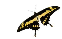 Thoas Swallowtail Cutout White Background Stock Images