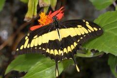 Thoas swallowtail,  papilio thoas Stock Photo