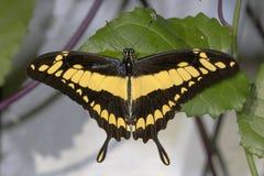 Thoas swallowtail,  papilio thoas Royalty Free Stock Photo