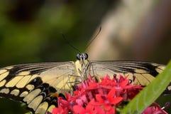 Thoas swallowtail,  papilio thoas Royalty Free Stock Image