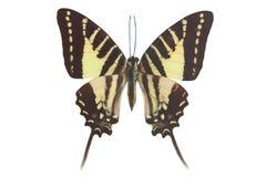 Thoas Swallowtail (Papilio thoas) Stock Photos