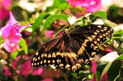 Thoas Swallowtail (Papilionidae family) Royalty Free Stock Image