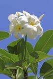 Thom do Lan ou flor de Champa com bluesky Imagens de Stock Royalty Free