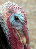 Thom Turkey Stock Photo