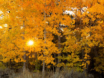 Thomas Creek Aspens y salida del sol, Nevada Imagen de archivo