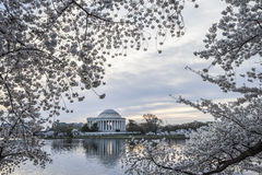 Thomas Jefferson Memorial with Cherry Blossoms in Washington DC Stock Image