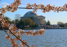 Thomas Jefferson Memorial dat met Cherry Bloosoms wordt ontworpen royalty-vrije stock foto's