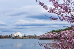 Thomas Jefferson Memorial durante Cherry Blossom Festival na bacia maré, Washington DC imagens de stock royalty free