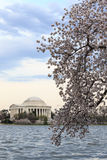 Thomas Jefferson Memorial durante il Cherry Blossom Festival in spri immagini stock